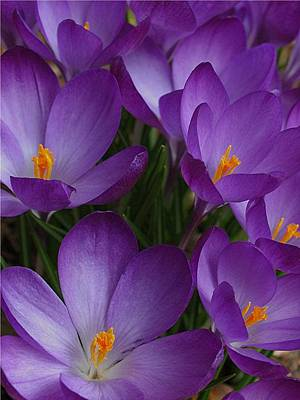 Macro Photograph - Spring Messengers by Juergen Roth