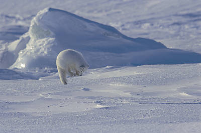 Landscape In Norway Photograph - A White Arctic Fox Alopex Lagopus Jumps by Norbert Rosing