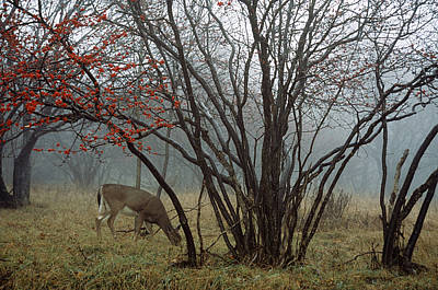 A White-tailed Deer Forages Print by Raymond Gehman