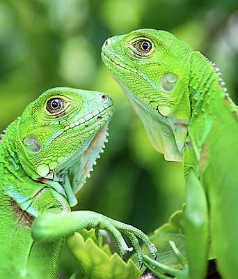 Green Photograph - Baby Iguanas by Patti Sullivan Schmidt
