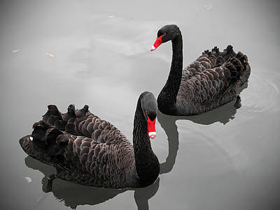 Togetherness Photograph - Black Swan by Bert Kaufmann Photography