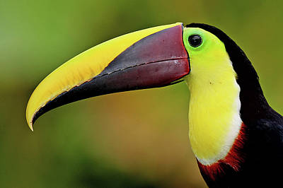 Toucan Photograph - Chestnut Mandibled Toucan by Photography by Jean-Luc Baron
