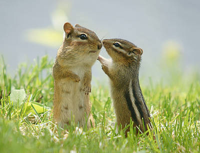 No People Photograph - Chipmunks In Grasses by Corinne Lamontagne