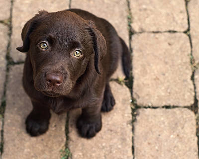 Chocolate Lab Puppy Looking Up Print by Jody Trappe Photography
