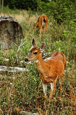 Curious Fawn In Grassy Meadow Print by Christopher Kimmel