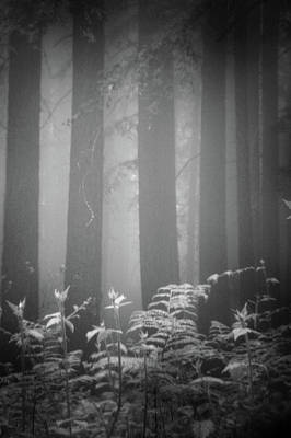 Fog And Ferns In Redwoods Forest Print by Cathy Clark aka CLCsPics