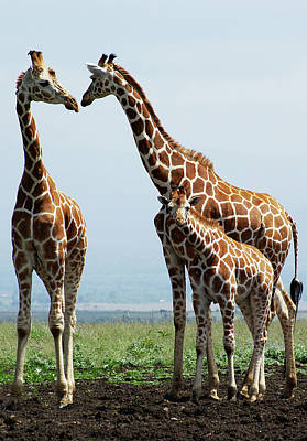 Kenya Photograph - Giraffe Family by Sallyrango