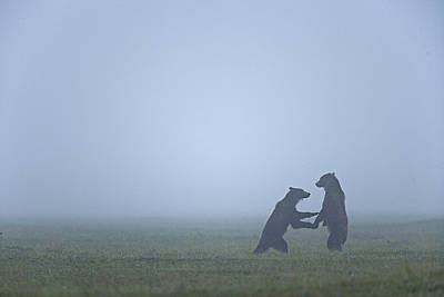 In The Morning Mist, Two Brown Bears Print by Michael Melford