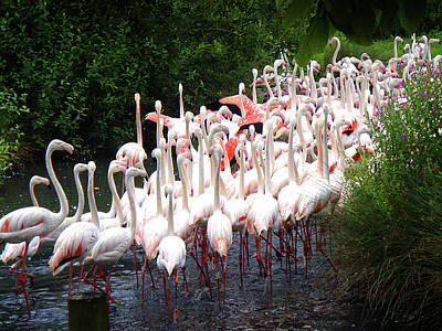 Animals Print featuring the photograph March Of The Flamingos by Roberto Alamino