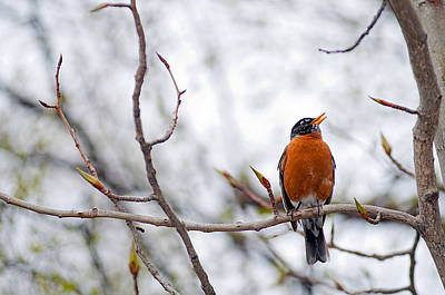 North American Robin Print by Ron Day