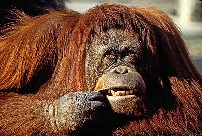 Ape Photograph - Orangutan  by Garry Gay