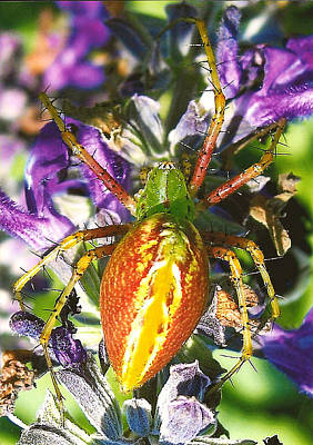 Scary Spider Print by Janet Pugh