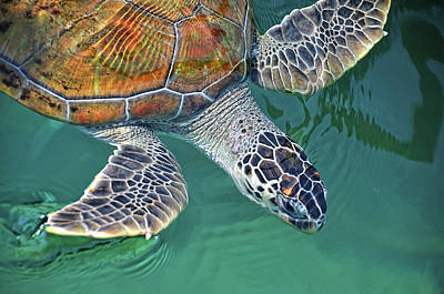 Captivity Photograph - Sea Turtle by Thank you.
