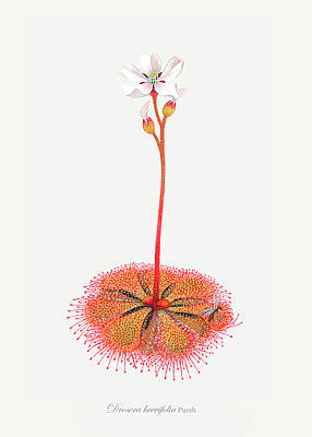 Insect Eating Plants Drawing - Shortleaf Sundew by Scott Bennett