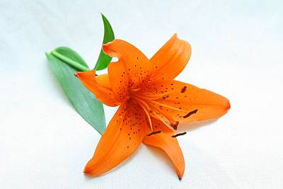 Orange Photograph - Studio Lilly by Robert Green