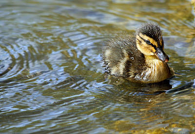 Duckling Photograph - Swimming Duckling by © Esther Moliné