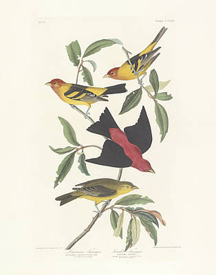 From Nature Painting - Tanagers by John James Audubon