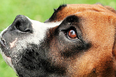 Thinking Of You - Boxer - Vindy Print by Renae Laughner
