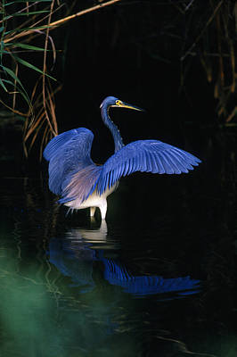 Tri-colored Heron - Fs000031 Print by Daniel Dempster