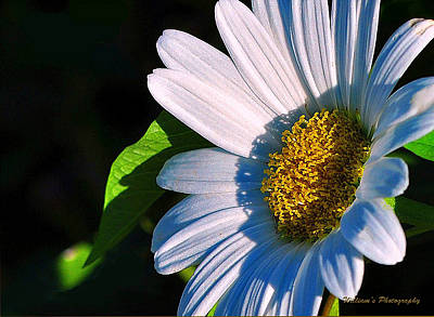 White Daisy Print by William Lallemand