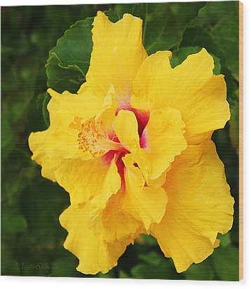 Yellow Double Hibiscus Wood Print by Kerri Ligatich
