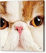 Domestic Persian Cat Against White Background. Acrylic Print by Martin Harvey