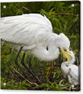 Great Egret And Chick Acrylic Print by Susan Candelario