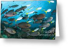 Schooling Yellowmask Surgeonfish Greeting Card by Steve Jones