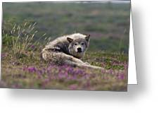 An Arctic Wolf Canis Lupus Arctos Rests Greeting Card by Paul Nicklen