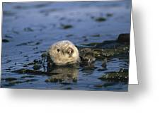 A Sea Otter Floats In A Tangle Of Kelp Greeting Card by Paul Nicklen