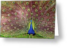 Peacock Greeting Card by Carlos Caetano