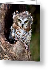 Saw-whet Owl Greeting Card by Wade Aiken