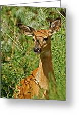 Whitetail Doe Painterly Greeting Card by Ernie Echols