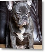 French Bulldog Metal Print by Falko Follert