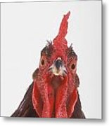 Rooster Metal Print by Thomas Kitchin & Victoria Hurst
