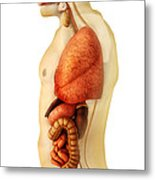 Anatomy Of Human Body Showing Whole Metal Print by Stocktrek Images