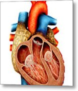Anatomy Of Human Heart, Cross Section Metal Print by Stocktrek Images