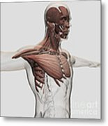 Anatomy Of Male Muscles In Upper Body Metal Print by Stocktrek Images