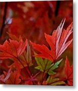 Brilliant Red Maples Metal Print by Linda Unger