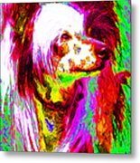 Chinese Crested Dog 20130125v2 Metal Print by Wingsdomain Art and Photography