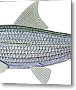 Illustration Of A Bonefish Albula Metal Print by Carlyn Iverson