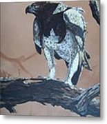 Martial Eagle Metal Print by Robert Teeling
