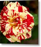 Red Yellow Rose Metal Print by Christine Till