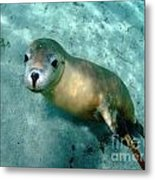 Sea Lion On The Seafloor Metal Print by Crystal Beckmann