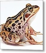 Spotted Dart Frog Metal Print by Lanjee Chee