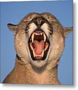 V.hurst Tk21663d, Mountain Lion Growling Metal Print by Victoria Hurst