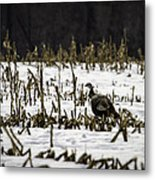 Wild Turkey In The Corn Metal Print by Thomas Young