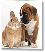 Boxer Puppy And Netherland-cross Rabbit Metal Print by Mark Taylor