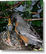 Robin Feeding Its Young Metal Print by Ted Kinsman