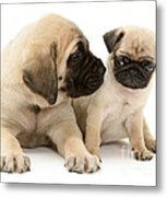 Pug And English Mastiff Puppies Metal Print by Jane Burton